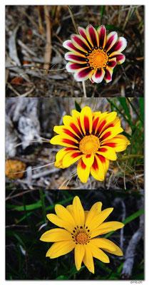 AU0852.Esperance.Blumen