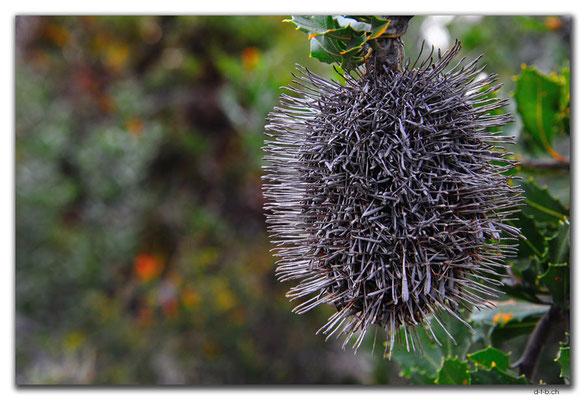 AU0832.Bandalup.Banksia