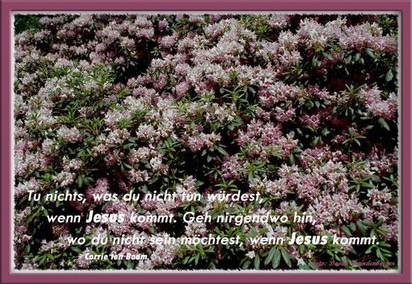 S0087.Rhododendron.Bremen,DE.Text: Corrie Ten Boom
