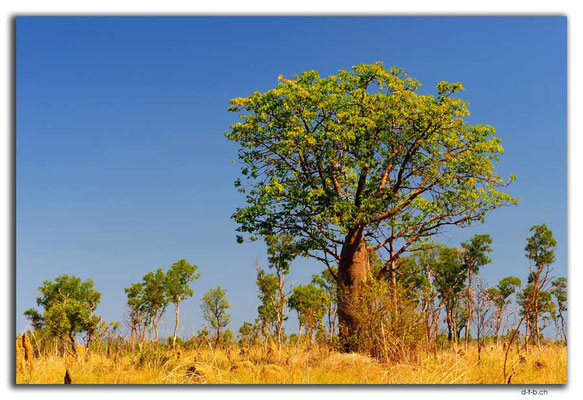 AU0237.Boab Baum mit Blätter