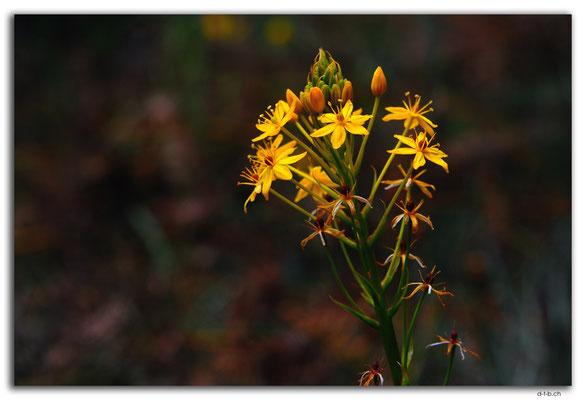 NZ0511.Kahurangi N.P.Flower at Myttons Hut