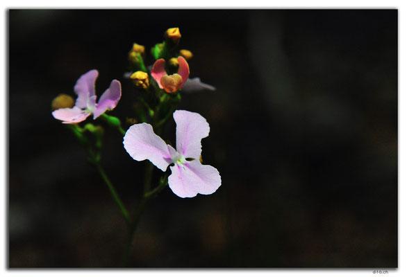 AU0678.Greenmount N.P.Orchid