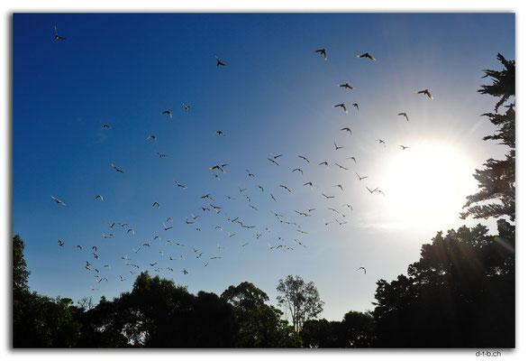 AU1125.Millicent.White Kakadus