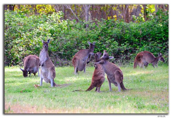 AU0770.Quinninup.Kangaroos