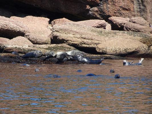 Urlaub in Quebec: Robben dösen und schwimmen vor der Bonaventure Insel nahe Percé.