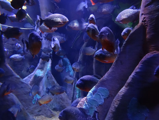 Piranhas im Ripley's Aquarium of Canada