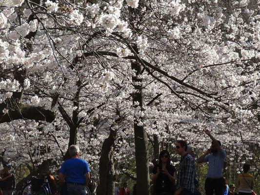 Die Kirschblüten bilden im High Park mancherorts beinahe ein weisses Dach.
