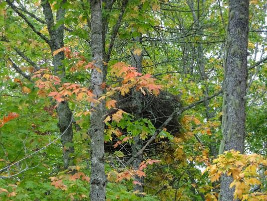 Urlaub in Quebec: Mächtiges Vogelnest im Lac Temiscouata Nationalpark. Die Bewohner standen aber nicht für ein Foto zur Verfügung.