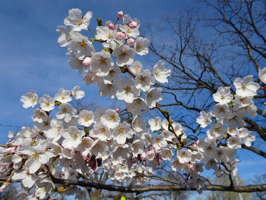 Sakura-Kirschblüten in Torontos High Park.