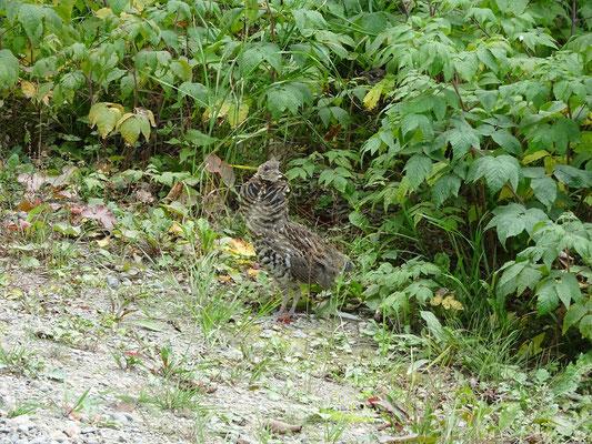 Urlaub in New Brunswick: Vogel am Wegesrand im Mount Carleton Provincial Park.