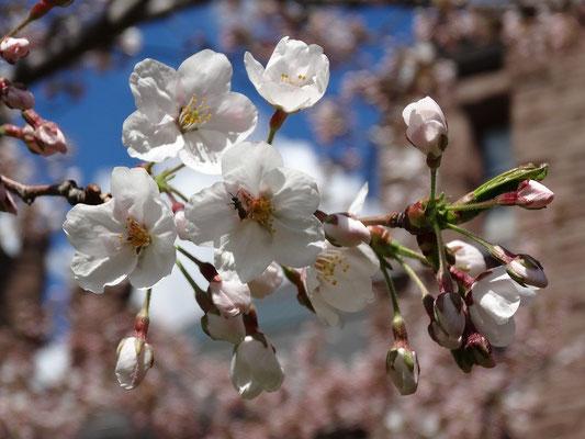 Frühling in Toronto: Kirschblüten im Queen's Park.