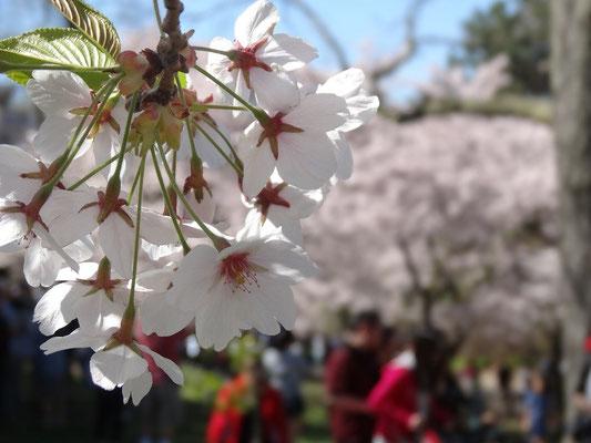 Kirschblüte: Erste Sakura-Kirschen blühen in Torontos High Park.