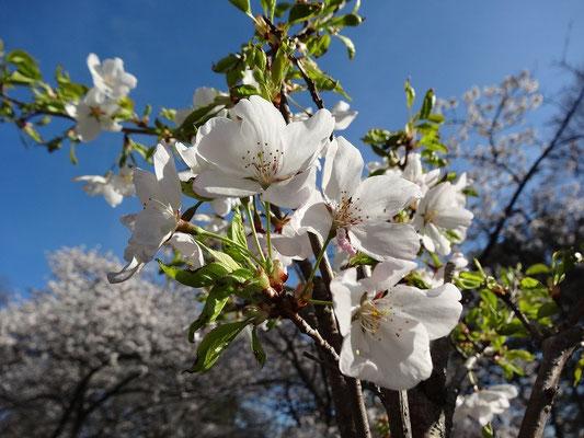 Frühling in Toronto: Kirschblüten im High Park.