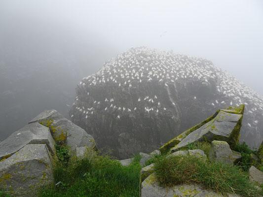 Seevögel auf einem Felsen in der Cape St. Mary's Ecological Reserve.