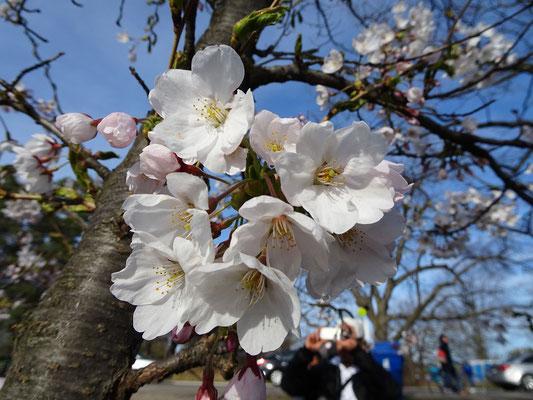Kirschblüte in Torontos High Park.