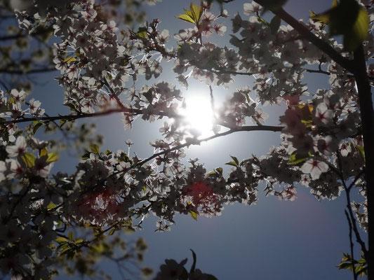 Frühling in Toronto: Erste Sakura-Kirschen blühen im High Park.