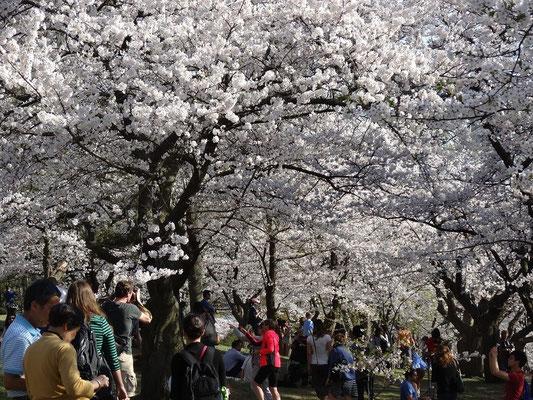 Attraktion High Park: Auch die Blüte der Sakura-Kirschbäume lockt viele Besucher nach Toronto.