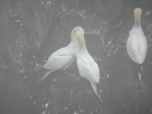 Urlaub in Neufundland: Drei Tölpel im Seevogel-Schutzgebiet Cape St. Mary's Ecological Reserve.