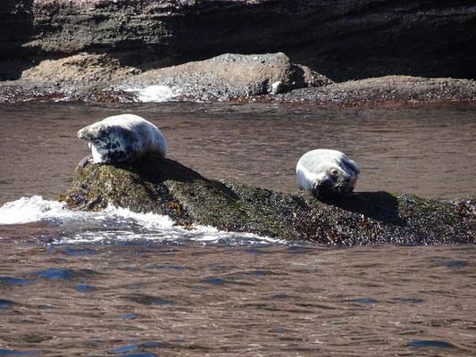 Urlaub in Quebec: Zwei Robben sonnen sich auf einem Felsen vor der Bonaventure Insel nahe Percé.