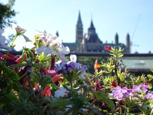 Urlaub in Ottawa: Blumen mit Parlament im Hintergrund.