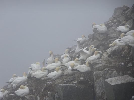Tölpel drängen sich auf den Felsen im Seevogel-Schutzgebiet Cape St. Mary's Ecological Reserve.