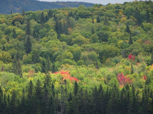 Urlaub in New Brunswick: Bei einigen Bäumen im Mount Carleton Provincial Park zeigt sich bereits die herbstliche Blattfärbung.