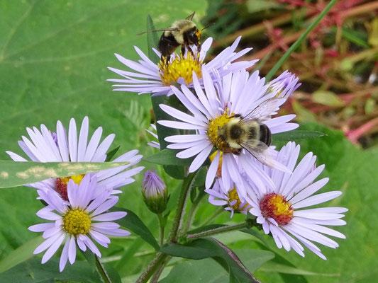 Urlaub in Quebec: Bienenfleiss auf dem Rundgang Prelude à Forillon auf der Ostseite des Forillon Nationalparks.