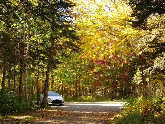 Herbsttour in Quebec: Gelbe Blätter an den Bäumen im Parc national de la Gaspésie.