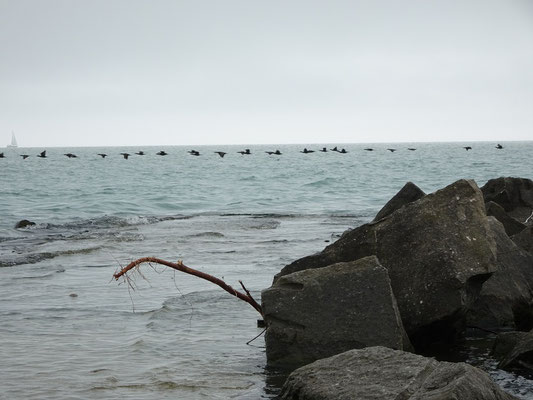 Vögel am Ontariosee.