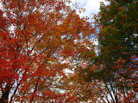 Herbst in Toronto: Farbenspiel in den Bäumen.
