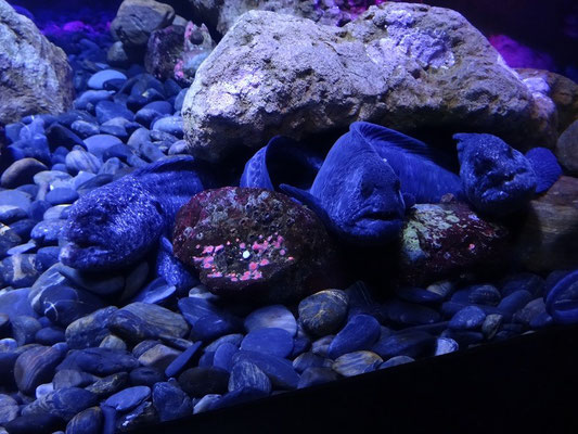 Ripley's Aquarium of Canada: Nicht alle heimischen Fische sind ansehnlich ;-)
