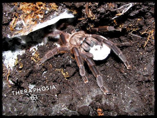 0.1 Orphnaecus sp blue Panay mit Kokon
