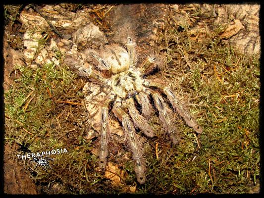 0.1 Stromatopelma calceatum