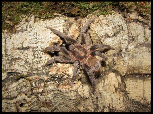 1.0 Theraphosinae sp. Villa Tunari