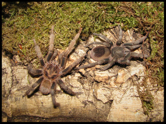 1.1 Theraphosinae sp. Villa Tunari
