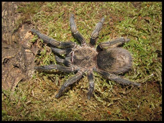 0.1 Theraphosinae sp. Piura