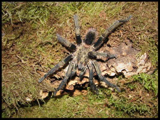 1.0 Theraphosinae sp. Piura