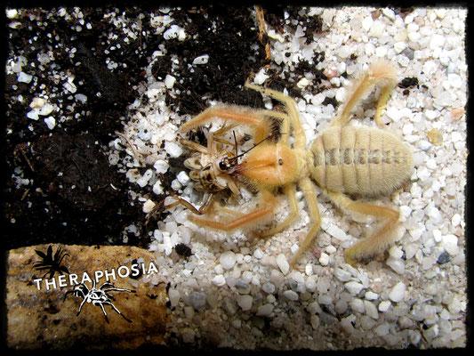 0.1 Galeodes graecus