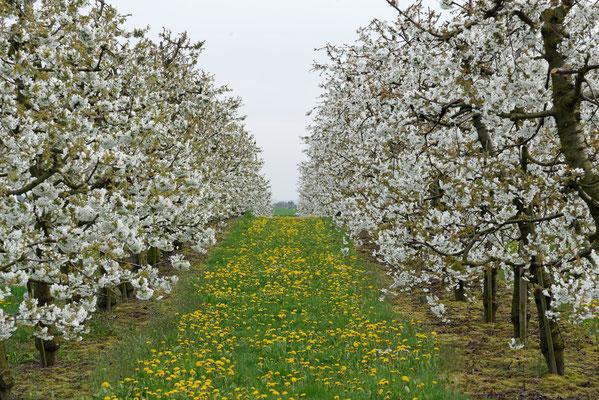 2016: Kirschblüte bei Affalterbach