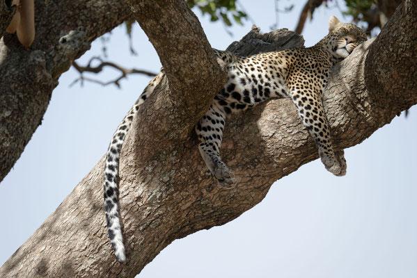 2016: Müder Leopard nach nächtlicher Jagd in der Serengeti ( Tansania)
