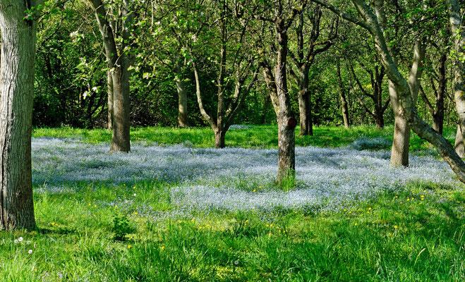 2013: Blaue Blumenwiese bei Erdmannhausen