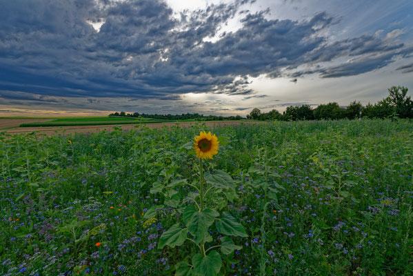 2020: Sonnenblume in der Abendstimmung bei Marbach/N