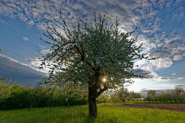 2020: Schöner Baum im Frühjahr bei Marbach/Neckar