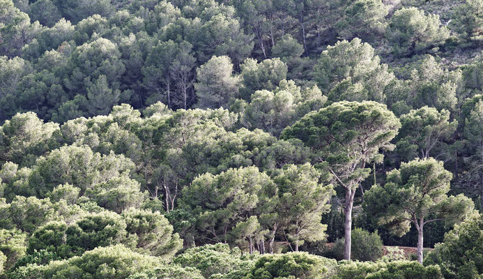 2016: Pinienwald in Spanien