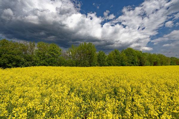2021: Gelbes Feld bei schönem Himmel, zwischen Erdmannhausen und Marbach/N