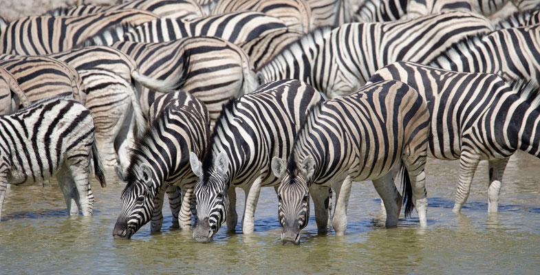 2014: Steppenzebras an der Tränke im Etosha-Nationalpark. Im Gegensatz zu ihren Verwandten aus den Bergen reichen ihre Streifen um den Bauch