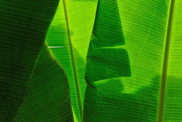 2011: Bananenblätter auf Hawaii