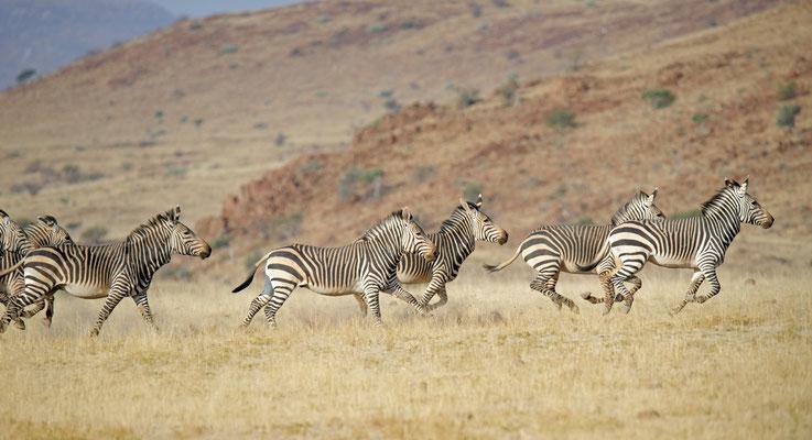 2014: Bergzebras in Namibia in vollem Gallopp. Aufgenommen beim abendlichen Gamedrive im Damaraland.