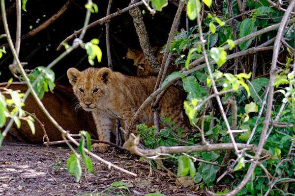 2019: Löwenkind in der Masai Mara