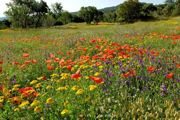2012: Frühsommerliche Blumenwiese im Norden Spaniens